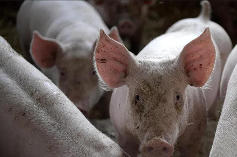 Mięso ze świń strutych glifosatem